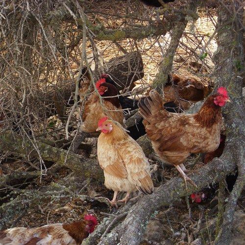 Hühner im Baum