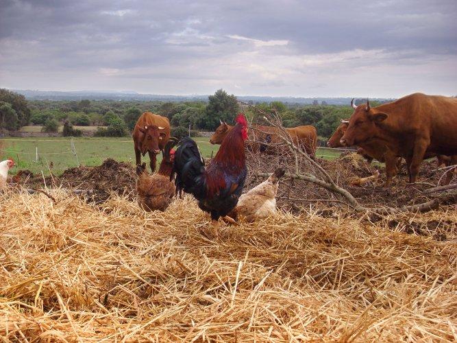 Hühner picken im Mist