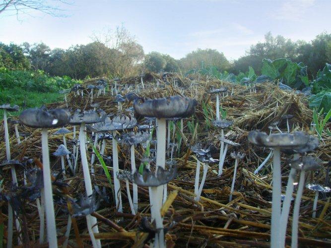 Pilze-auf-Kompost
